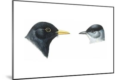 Birds: Passeriformes, Heads of Blackbird (Turdus Merula) and Blackcap (Sylvia Atricapilla)--Mounted Giclee Print