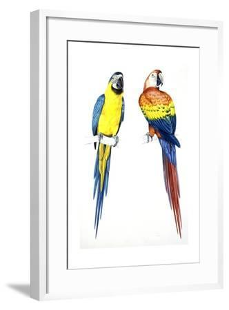 Birds: Psittaciformes, Blue-And-Yellow Macaw (Ara Ararauna) and Scarlet Macaw (Ara Macao)--Framed Giclee Print