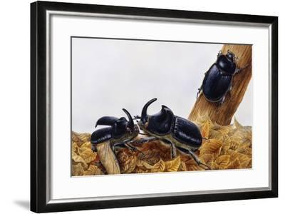 Rhinoceros Beetles (Oryctes Nasicornis), Scarabaeidae, Artwork by Maurice Piedger--Framed Giclee Print