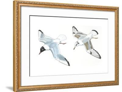 Birds: Charadriiformes, Black-Headed Gulls (Chroicocephalus Ridibundus), Adult and Young--Framed Giclee Print