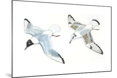 Birds: Charadriiformes, Black-Headed Gulls (Chroicocephalus Ridibundus), Adult and Young--Mounted Giclee Print