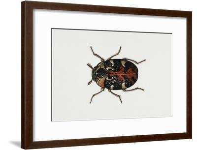 Common Carpet Beetle (Anthrenus Scrophulariae), Dermestidae, Artwork by Rebecca Hardy--Framed Giclee Print