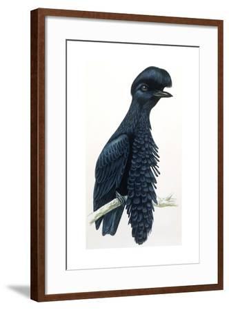 Birds, Passeriformes, Amazonian Umbrellabird, (Cephalopterus Ornatus)--Framed Giclee Print