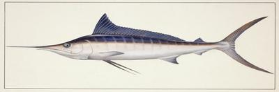 Fishes: Percifirmes Istiophoridae, Striped Marlin (Tetrapturus Audax)--Stretched Canvas Print