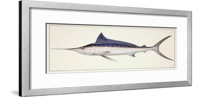 Fishes: Percifirmes Istiophoridae, Striped Marlin (Tetrapturus Audax)--Framed Giclee Print