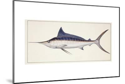Fishes: Percifirmes Istiophoridae, Striped Marlin (Tetrapturus Audax)--Mounted Giclee Print