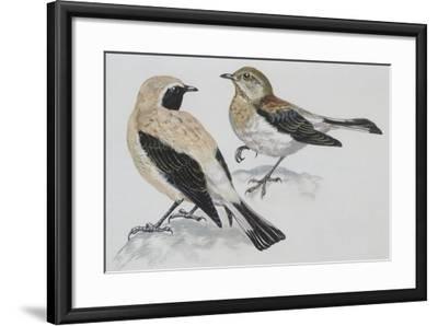 Zoology: Birds, Black-Eared Wheatear (Oenanthe Hispanica), Male and Female--Framed Giclee Print