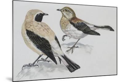 Zoology: Birds, Black-Eared Wheatear (Oenanthe Hispanica), Male and Female--Mounted Giclee Print