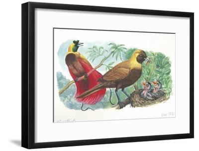 Couple of Red Birds of Paradise Paradisaea Rubra; Female Feeding Chicks in Nest--Framed Giclee Print