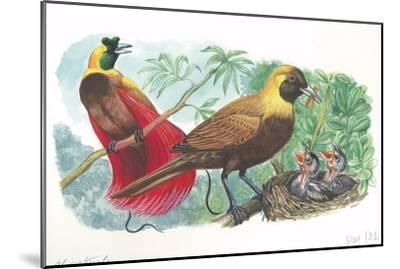 Couple of Red Birds of Paradise Paradisaea Rubra; Female Feeding Chicks in Nest--Mounted Giclee Print