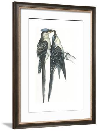Birds: Cuculiformes, Great Spotted Cuckoos, (Clamator Glandarius) Mating--Framed Giclee Print