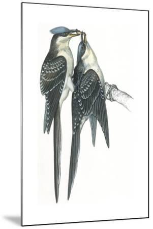 Birds: Cuculiformes, Great Spotted Cuckoos, (Clamator Glandarius) Mating--Mounted Giclee Print