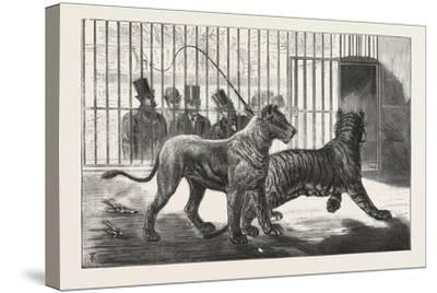 Moving the Carnivora, Lions, to the New Houses at the Zoological Gardens, London, 1876, Uk--Stretched Canvas Print