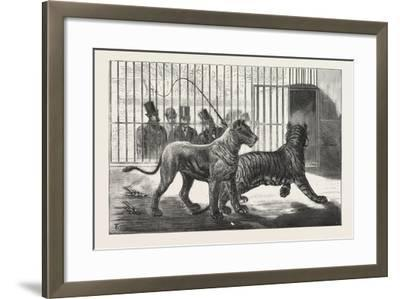 Moving the Carnivora, Lions, to the New Houses at the Zoological Gardens, London, 1876, Uk--Framed Giclee Print