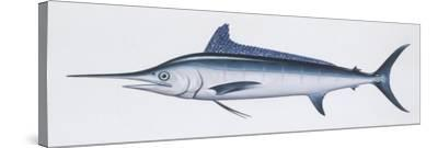 Fishes: Perciformes Istiophoridae, Atlantic White Marlin, (Tetrapturus Albidus)--Stretched Canvas Print
