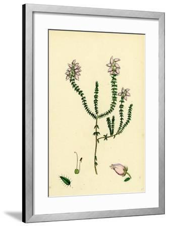Erica Tetralici-Ciliaris Hybrid Between Fringed-Leaved and Cross-Leaved Heaths--Framed Giclee Print