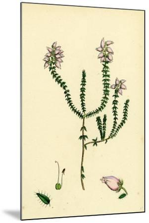 Erica Tetralici-Ciliaris Hybrid Between Fringed-Leaved and Cross-Leaved Heaths--Mounted Giclee Print