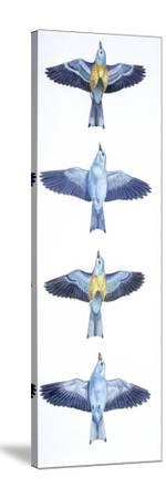 Birds: Coraciiformes, European Roller (Coracias Garrulus), Courtship, Rolling in Flight Stages--Stretched Canvas Print