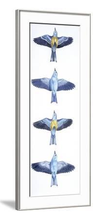 Birds: Coraciiformes, European Roller (Coracias Garrulus), Courtship, Rolling in Flight Stages--Framed Giclee Print