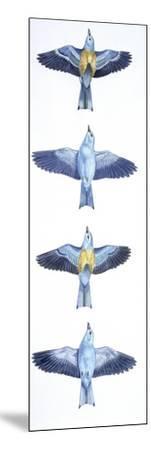 Birds: Coraciiformes, European Roller (Coracias Garrulus), Courtship, Rolling in Flight Stages--Mounted Giclee Print