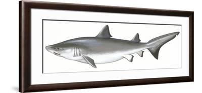 Fishes: Carcharhiniformes, School of Sharks (Galeorhinus Galeus)--Framed Giclee Print