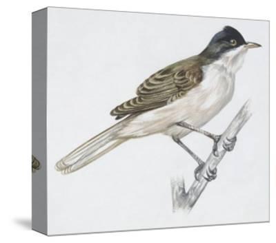 Zoology: Birds - Passeriformes - Western Orphean Warbler (Sylvia Hortensis). Art Work--Stretched Canvas Print
