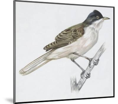 Zoology: Birds - Passeriformes - Western Orphean Warbler (Sylvia Hortensis). Art Work--Mounted Giclee Print