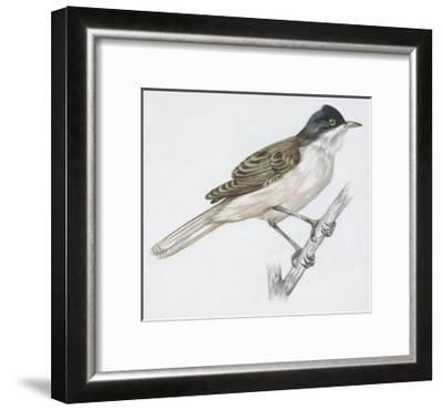 Zoology: Birds - Passeriformes - Western Orphean Warbler (Sylvia Hortensis). Art Work--Framed Giclee Print