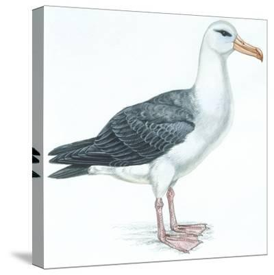 Birds: Procellariiformes, Black-Browed Albatross (Thalassarche Melanophrys)--Stretched Canvas Print