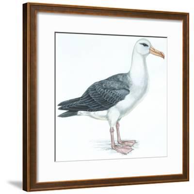 Birds: Procellariiformes, Black-Browed Albatross (Thalassarche Melanophrys)--Framed Giclee Print