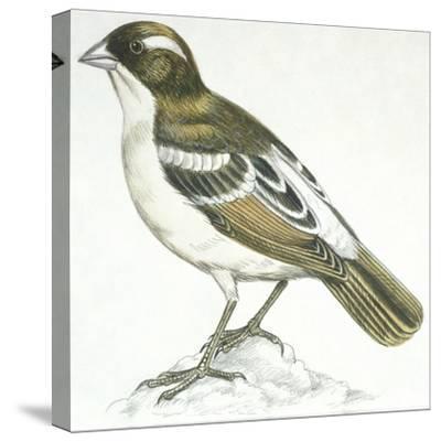 Birds: Passeriformes, White-Browed Sparrow-Weaver (Plocepasser Mahali)--Stretched Canvas Print