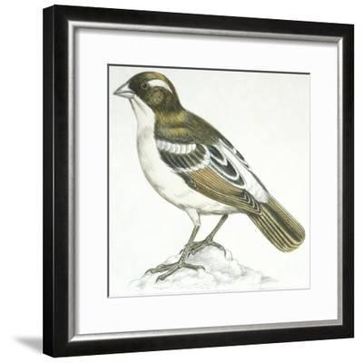 Birds: Passeriformes, White-Browed Sparrow-Weaver (Plocepasser Mahali)--Framed Giclee Print