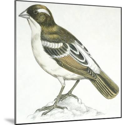 Birds: Passeriformes, White-Browed Sparrow-Weaver (Plocepasser Mahali)--Mounted Giclee Print