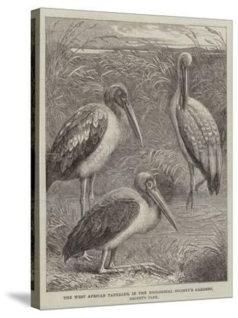The West African Tantalus, in the Zoological Society's Gardens, Regent's Park--Stretched Canvas Print