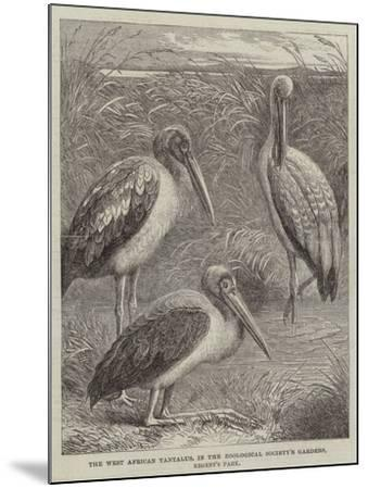 The West African Tantalus, in the Zoological Society's Gardens, Regent's Park--Mounted Giclee Print