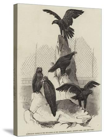 Australian Eagles in the Menagerie of the Zoological Society, Regent's Park--Stretched Canvas Print
