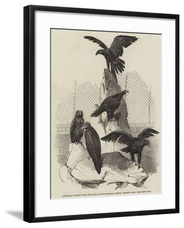 Australian Eagles in the Menagerie of the Zoological Society, Regent's Park--Framed Giclee Print