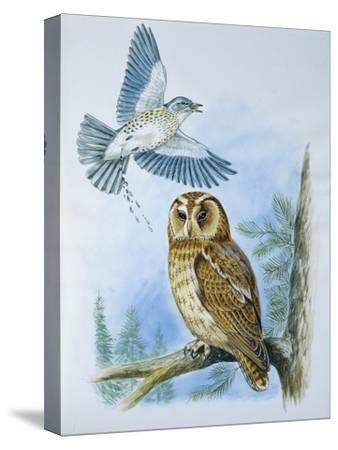 Fieldfare (Turdus Pilaris) Splashing its Droppings Against Tawny Owl (Stix Aluco) to Defend its Ter--Stretched Canvas Print