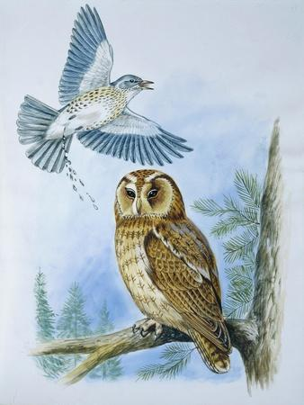 Fieldfare (Turdus Pilaris) Splashing its Droppings Against Tawny Owl (Stix Aluco) to Defend its Ter--Premium Giclee Print
