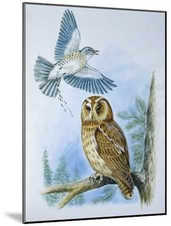 Fieldfare (Turdus Pilaris) Splashing its Droppings Against Tawny Owl (Stix Aluco) to Defend its Ter--Mounted Giclee Print