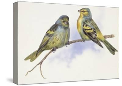 Zoology: Birds, Corsican Finch (Carduelis Corsicana) and European Goldfinch (Carduelis Carduelis)--Stretched Canvas Print
