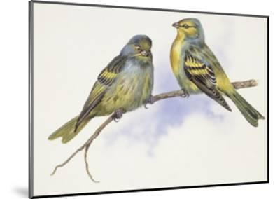 Zoology: Birds, Corsican Finch (Carduelis Corsicana) and European Goldfinch (Carduelis Carduelis)--Mounted Giclee Print