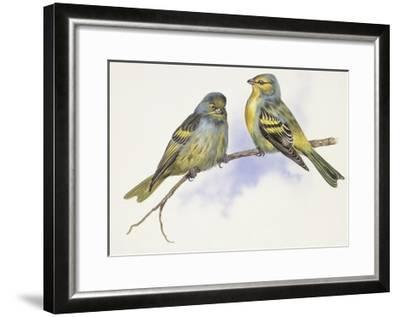 Zoology: Birds, Corsican Finch (Carduelis Corsicana) and European Goldfinch (Carduelis Carduelis)--Framed Giclee Print