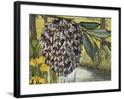 Female Water Snipe Flies Clumping Together for Egg Laying Near Water (Atherix Ibis), Athericidae--Framed Giclee Print