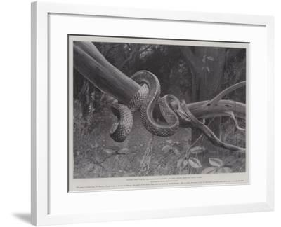Studies from Life at the Zoological Gardens, South American Corais Snake--Framed Giclee Print