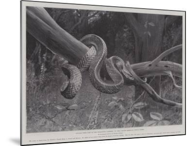 Studies from Life at the Zoological Gardens, South American Corais Snake--Mounted Giclee Print