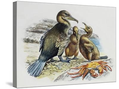 Flightless Cormorant or Galapagos Cormorant (Phalacrocorax Harrisi) with Chicks, Phalacrocoracidae--Stretched Canvas Print