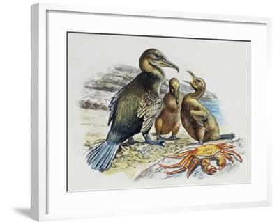 Flightless Cormorant or Galapagos Cormorant (Phalacrocorax Harrisi) with Chicks, Phalacrocoracidae--Framed Giclee Print