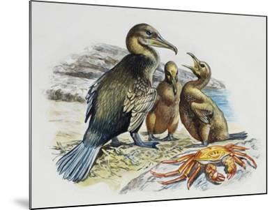 Flightless Cormorant or Galapagos Cormorant (Phalacrocorax Harrisi) with Chicks, Phalacrocoracidae--Mounted Giclee Print