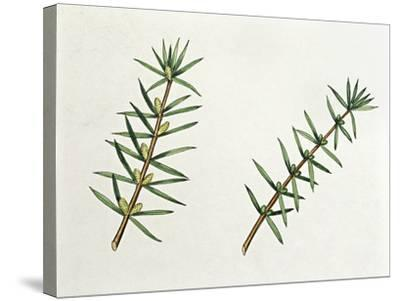 Botany, Trees, Cupressaceae, Male and Female Inflorescences of Common Juniper Juniperus Communis--Stretched Canvas Print